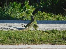 Iguana που περπατά κατά μήκος του δρόμου στοκ εικόνες με δικαίωμα ελεύθερης χρήσης