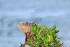 Iguana που στηρίζεται κατά μήκος της υδάτινης οδού Basking στον ήλιο Στοκ Φωτογραφίες