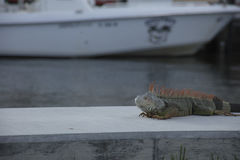 Iguana που στηρίζεται σε Seawall Στοκ εικόνες με δικαίωμα ελεύθερης χρήσης