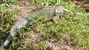 Iguana που τρώει τα φύλλα στην πάπια απόθεμα βίντεο