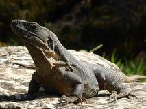 Iguana που χαλαρώνει στον ήλιο Στοκ εικόνα με δικαίωμα ελεύθερης χρήσης