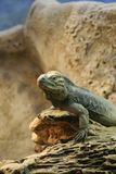 Iguana ρινοκέρων Στοκ Εικόνες