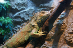 Iguana σε έναν κλάδο Στοκ Εικόνες