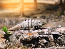 Iguana σε έναν τοίχο πετρών Στοκ εικόνες με δικαίωμα ελεύθερης χρήσης