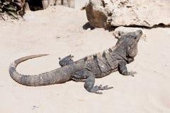 Iguana στην άμμο Στοκ φωτογραφία με δικαίωμα ελεύθερης χρήσης