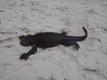 Iguana στην άμμο Στοκ Εικόνα