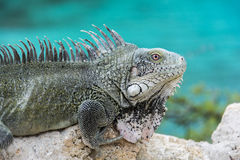 Iguana στην παραλία στο Κουρασάο στοκ εικόνα