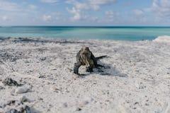 Iguana στην παραλία Cayo βραδύτατη στην Κούβα Στοκ Εικόνες