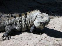 Iguana στη ζούγκλα Στοκ εικόνες με δικαίωμα ελεύθερης χρήσης
