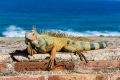 Iguana στη EL Morro - San Juan, Πουέρτο Ρίκο Στοκ εικόνες με δικαίωμα ελεύθερης χρήσης