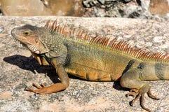 Iguana στη EL Morro - San Juan, Πουέρτο Ρίκο Στοκ φωτογραφία με δικαίωμα ελεύθερης χρήσης