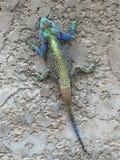 Iguana στον γκρίζο τοίχο Στοκ Εικόνες