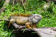 Iguana στον πράσινο τομέα χλόης Στοκ Εικόνες