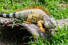 Iguana στον πράσινο τομέα χλόης Στοκ εικόνες με δικαίωμα ελεύθερης χρήσης