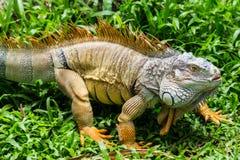 Iguana στον πράσινο τομέα χλόης Στοκ φωτογραφία με δικαίωμα ελεύθερης χρήσης