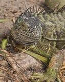 Iguana στους υγρότοπους Wakodahatchee Στοκ φωτογραφίες με δικαίωμα ελεύθερης χρήσης