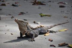 Iguana στο εθνικό πάρκο του Manuel Antonio, Κόστα Ρίκα στοκ εικόνες με δικαίωμα ελεύθερης χρήσης