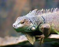 Iguana στο ζωολογικό κήπο Στοκ φωτογραφίες με δικαίωμα ελεύθερης χρήσης