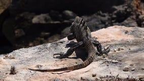Iguana στο Μεξικό στο νησί της Isla Mujeres φιλμ μικρού μήκους