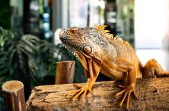 Iguana Iguana στο ξύλινο υπόβαθρο στοκ εικόνες