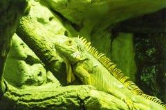 Iguana στο φυσικό περιβάλλον κάτω από την τροπική εξωτική έρπουσα ζωική έννοια πράσινων φώτων Στοκ Φωτογραφία