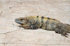 Iguana του πράσινου και κίτρινου χρώματος στο πεζοδρόμιο πετρών Στοκ φωτογραφία με δικαίωμα ελεύθερης χρήσης