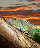 iguana 02 leniwa Obraz Stock