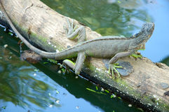 Iguana Foto de archivo libre de regalías
