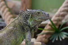 Iguana Στοκ Εικόνες