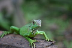 Iguana. GREEN IGUANA stock photography