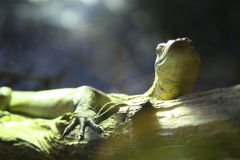 Iguana. An Iguana resting on a piece of wood stock photography