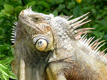 The Iguana. 's portrait on Cozumel island, Mexico stock photo