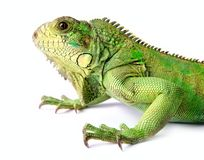 Iguana. On a white background Royalty Free Stock Photos