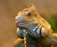 Iguana. Portrait having fun in front of me, sticking the tongue out royalty free stock photography