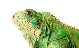 Iguana. Fragment iguana on a white background Royalty Free Stock Images