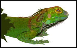 Iguana. An green iguana realistic, illustrated vector illustration