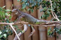 Iguana. Head of green iguana. Latin name - Iguana iguana Royalty Free Stock Photo