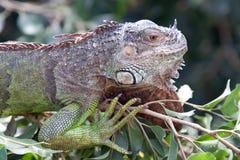 Iguana. Head of green iguana. Latin name - Iguana iguana Royalty Free Stock Image