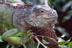 Iguana. Head of green iguana. Latin name - Iguana iguana Stock Photos