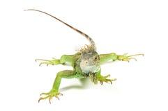Free Iguana Royalty Free Stock Image - 11817456