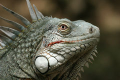 Iguana. The ancient creature looks weird but attractive Royalty Free Stock Image