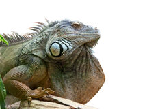 Iguana. Isolated on a white background Royalty Free Stock Photography