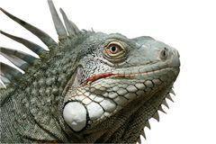 Iguana. A weird but attractive reptile (isolated Stock Image