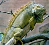 Iguana 13 Foto de archivo libre de regalías