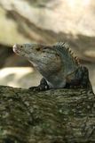 Iguana Fotografía de archivo