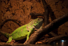 Iguana. In a terrarium standing on a wood branch stock photography