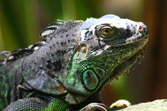 Iguana. Is a genus of lizard native to tropical areas of Central and South America and the Caribbean. The genus was first described by Austrian naturalist royalty free stock image