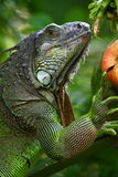 Iguana. Is a genus of lizard native to tropical areas of Central and South America and the Caribbean. The genus was first described by Austrian naturalist stock photo