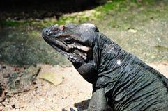 Iguana στοκ φωτογραφίες με δικαίωμα ελεύθερης χρήσης