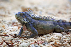 Iguana Fotografie Stock Libere da Diritti